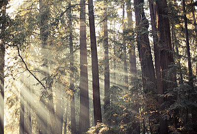 Redwoods in Kalifornien - p966m1511276 von Tobias Leipnitz