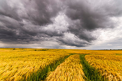 UK, Scotland, East Lothian, field of barley with tractor tracks - p300m2030289 by Scott Masterton