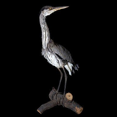 Padded grey heron in studio - p8520015 by Astrid Schulz