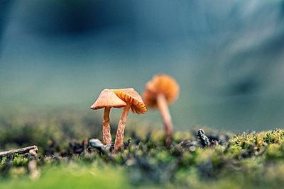 Three small mushrooms - p879m2295237 by nico