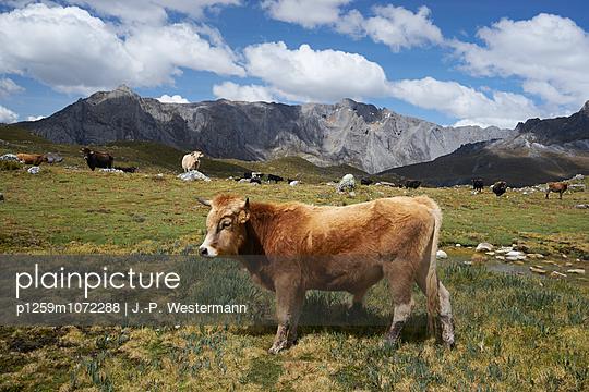 Nutztiere - p1259m1072288 von J.-P. Westermann