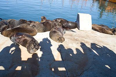 Seehunde - p619m778559 von Samira Schulz