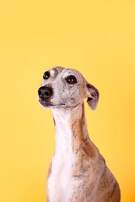 Studio portrait ofEnglish Greyhound - p300m2198876 by Retales Botijero