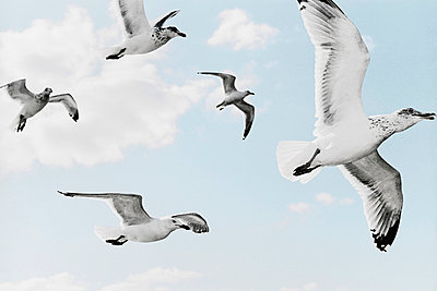 A Group Of Seagulls Flying In The Sky - p3200563 by Jens Haas