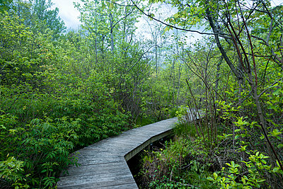 Planked footpath in a forest in spring - p1488m2259849 by Sid Miller