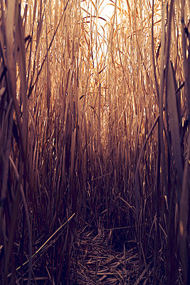 Path in the reeds - p470m2185032 by Ingrid Michel