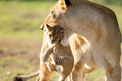 Lion with cub in mouth, Masai Mara, Kenya, East Africa, Africa - p871m1533926 by Karen Deakin