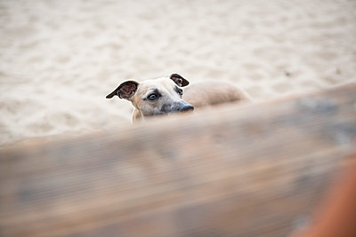 Whippet at beach - p1076m1025393 by TOBSN