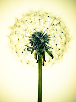 Dandelion Seeds - p401m1203101 by Frank Baquet