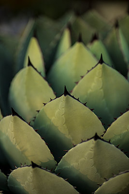 Agave - p552m1074258 by Leander Hopf