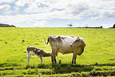 Kuh mit Kälbchen auf der Weide - p1057m1444639 von Stephen Shepherd