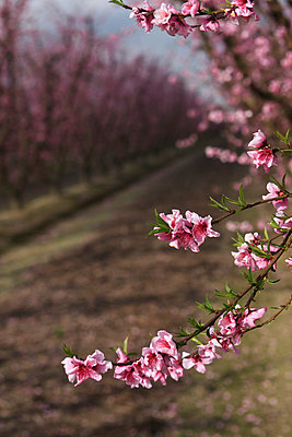 Agriculture - Closeup of peach blossoms at the full bloom stage with the orchard in the background / near Dinuba, California, USA. - p442m1006218 by Steve Goossen