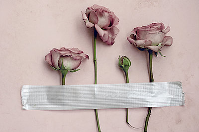 Roses taped on wall  - p450m1573464 by Hanka Steidle
