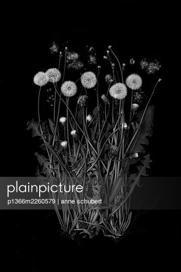 Blowballs, dandelion against black background  - p1366m2260579 by anne schubert