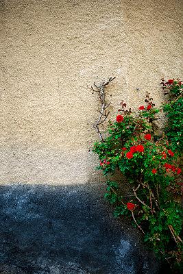 Rosenstrauch an der Hausmauer - p2481177 von BY