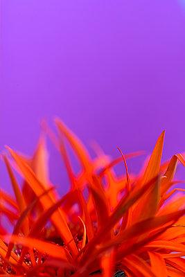 Gerbera, Orangefarbene Blütenblätter - p427m2098833 von Ralf Mohr
