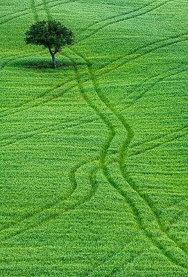 Lone Tree in Field of Wheat, Tuscany, Italy - p651m2033660 by Tom Mackie