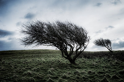 Two wind swept gnarled trees on moorland - p1047m1510724 by Sally Mundy
