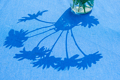 A jar of white daisy like flowers casting shadows across a blue tablecloth in the summer sunshine. - p1057m2206382 by Stephen Shepherd