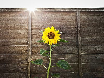 Sunflower growing by wooden wall - p42915775f by Dan Brownsword
