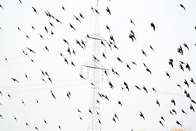 Birds in flight - p7390664 by Baertels