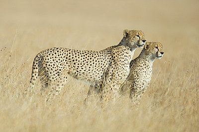 Two cheetahs in the grass - p9246693f by Image Source