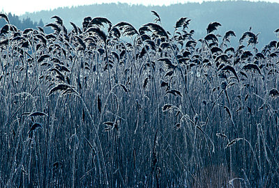 Close-up of reeds in a field - p3489191 by Rolf Sorensen