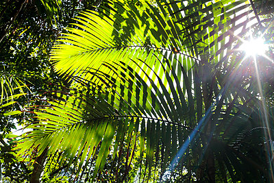Details of palm fronds with sunburst at Finch Hatton Gorge in Eungella National Park, near Mackay, Queensland, Australia - p652m1166961 by William Gray