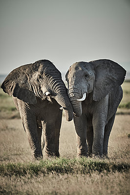 Two elephants, National Park, Kenya - p706m2158432 by Markus Tollhopf