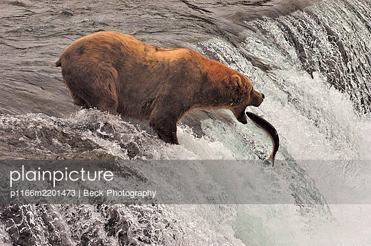 Grizzly bear (Ursus arctos ssp.) hunting for fish in river, Katmai National Park, Alaska, USA - p1166m2201473 by Beck Photography