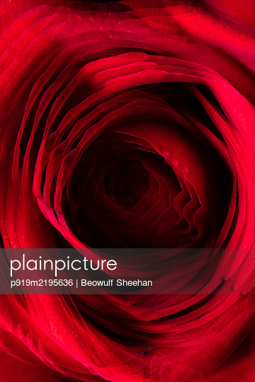 Red rose - p919m2195636 by Beowulf Sheehan