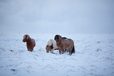 Icelandic horses in field of snow  - p1084m833092 by Operation XZ