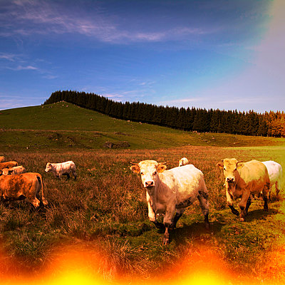 Herd of cows. - p813m1039467 by B.Jaubert
