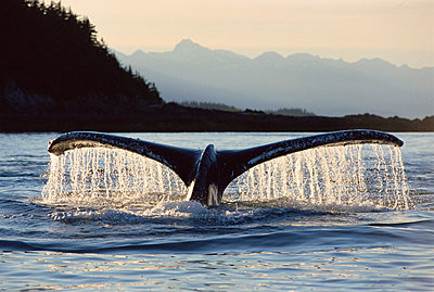 Humpback Whale tail - p884m864563 by Matthias Breiter