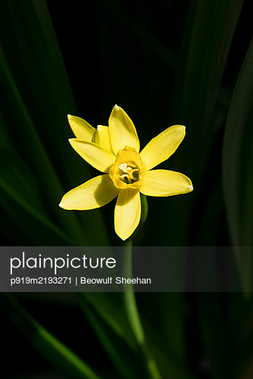 Yellow daffodil flower against green leaves and stems and black background - p919m2193271 by Beowulf Sheehan