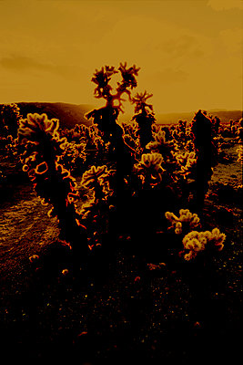 Cholla cactus (Cylindropuntia bigelovii), Joshua Tree National Park, California - p1028m2043549 by Jean Marmeisse