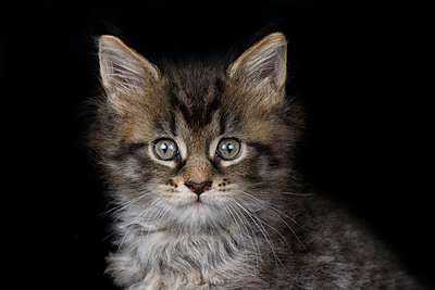 Portrait of Maine Coon kitten in front of black background - p300m2023990 by Mark Johnson