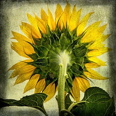 Sunflower - p8130313 by B.Jaubert