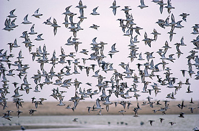 Flock of sanderlings  - p1395m1466002 by Tony Arruza