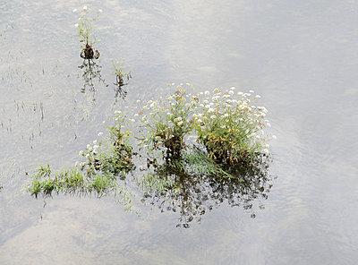 Blühende Pflanze im Wasser - p171m1461308 von Rolau