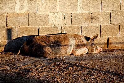 Schwein - p712m1541263 von Jana Kay