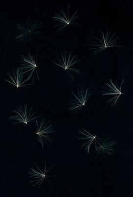 Dandelion seeds - p436m1445510 by R. Petersen