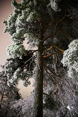 Low angle view of frosted pine tree - p528m711592f by Sara Danielsson