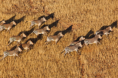 Burchell's Zebra herd running - p884m864108 by Theo Allofs
