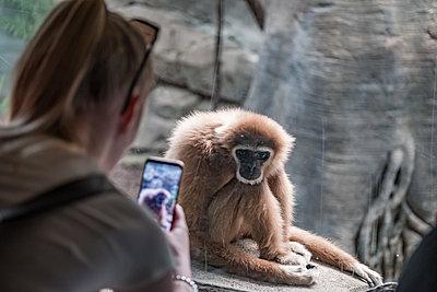 Person fotografiert Affe im Zoo mit Handy - p1463m2287937 von Wolfgang Simlinger