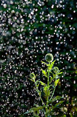 Distel im Regen - p1562m2141851 von chinch gryniewicz