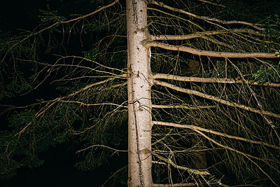 Coniferous tree at night - p1184m1424517 by brabanski