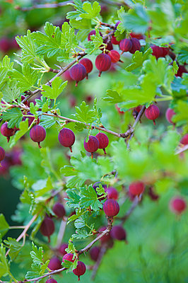 Gooseberries - p1242m2027809 by teijo kurkinen