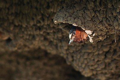 American cliff swallow (petrochelidon pyrrhonota) in nest colony, Yellowstone National Park, Wyoming, USA - p429m1095083f by Jouko van der Kruijssen