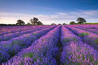 Lavender field at dawn, Somerset, England, United Kingdom, Europe - p871m993827 by Adam Burton
